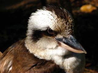 232 kookaburra 1